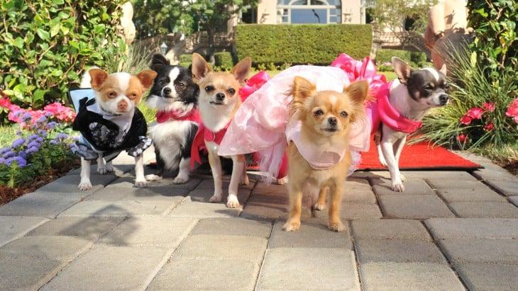 Perros chihuahuas vestidos