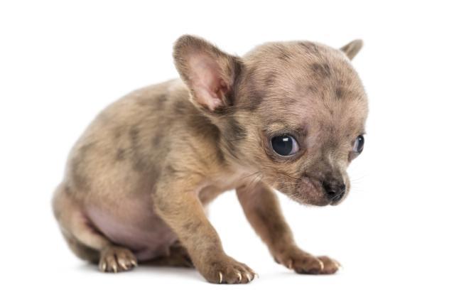 20 Razones Por Las Que No Deber 237 As Tener Un Chihuahua
