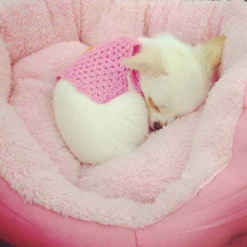 Perrito chihuahua dormido