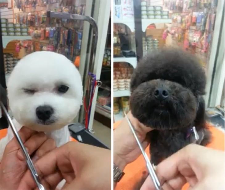 Perros con corte de pelo cabeza redonda
