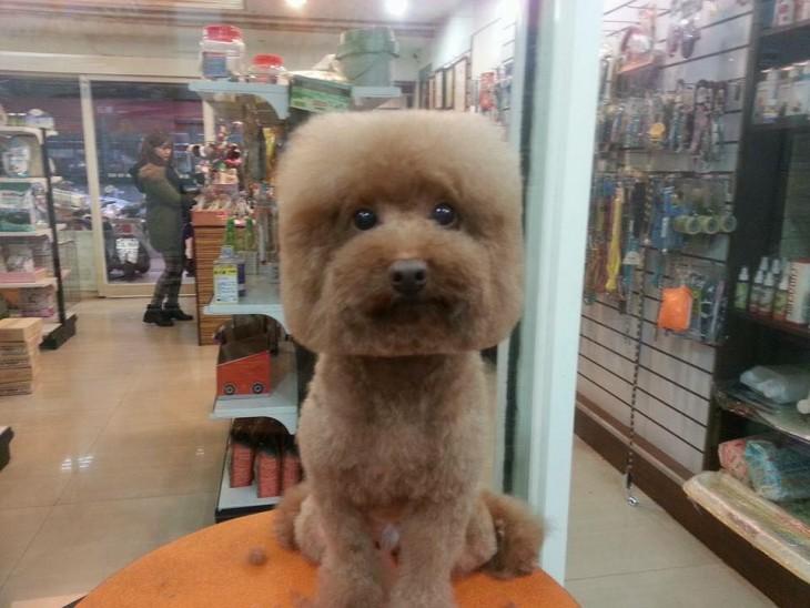 Perro con corte de pelo cabeza cuadrada