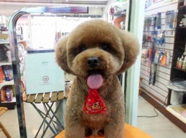 Perro con corte de pelo redondo