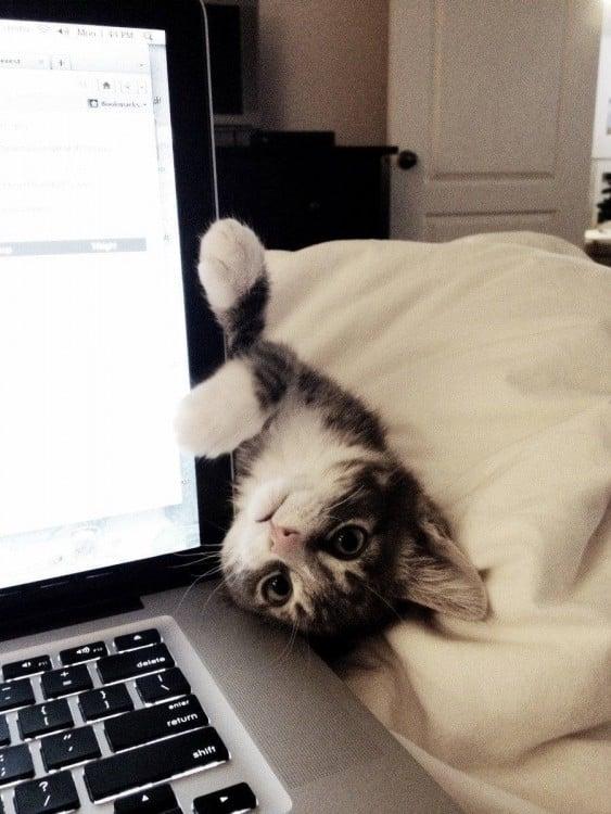 gato colgado de una lap top
