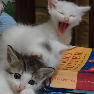 gatitos bebe chillando sobre un libro