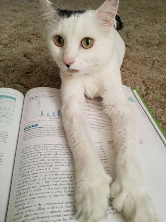 Gato blanco que no deja leer