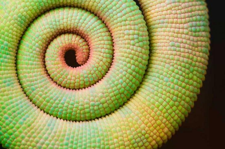 Geometría de la cola de camaleón