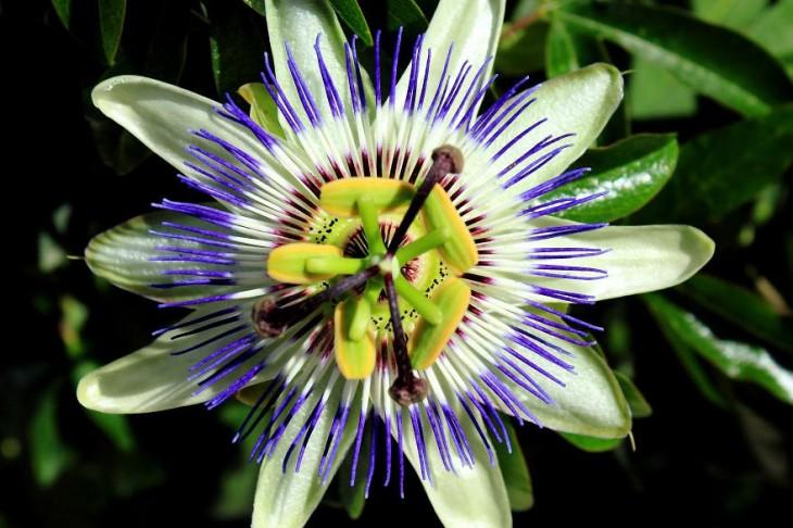 Geometría de la planta Passiflora Caerulea