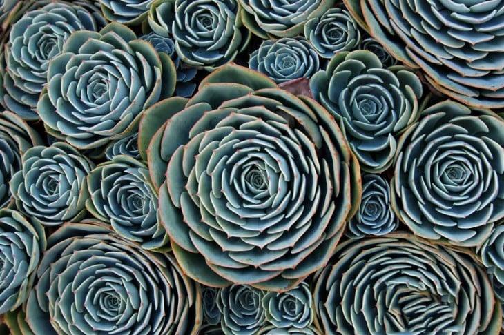 Geometría de una planta llamada suculenta