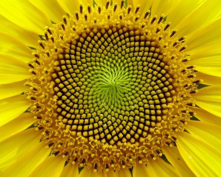 Geometría de un girasol