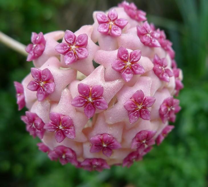 Geometría de la planta Hoya aldichii