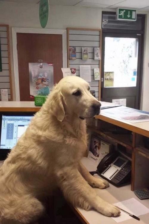 Perro simulando ser la recepcionista