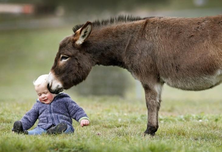 Burro miniatura a un costado de un bebé simulando darle un beso