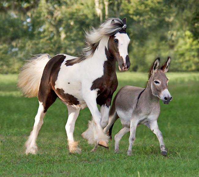 Burro miniatura a un costado de un caballo