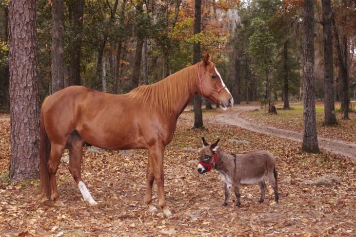 El burro más pequeño del mundo a lado de un caballo