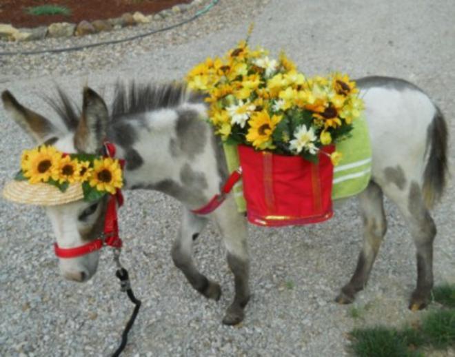 Burro miniatura cargando unas flores a sus costados