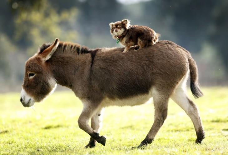 Burro miniatura con un perro sobre su lomo