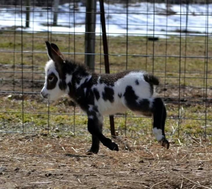 Burro miniatura en una granja