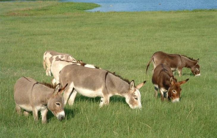 Manada de burros miniatura