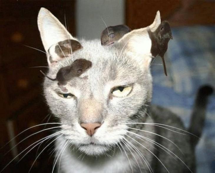 Gato con 4 ratones encima de él