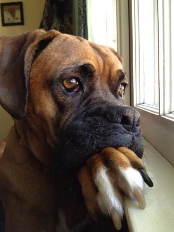 Perro viendo por la ventana
