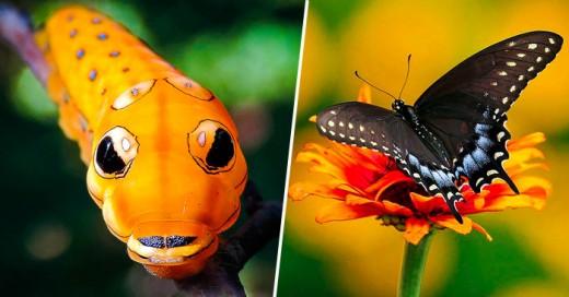 gusanomariposatransformacion