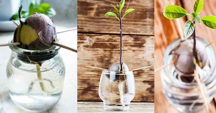 C mo germinar una semilla de aguacate en 5 pasos for Como cultivar aguacate