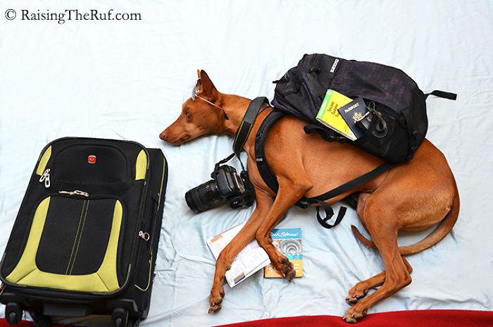 perro aventurero viajero