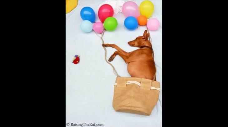 perro en una  con globos