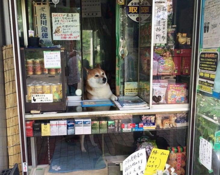 Perro shiba atendiendo un kiosko