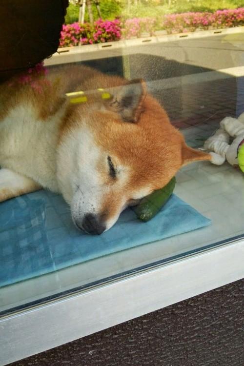 perro shiba japones durmiendo arriba de un pepino