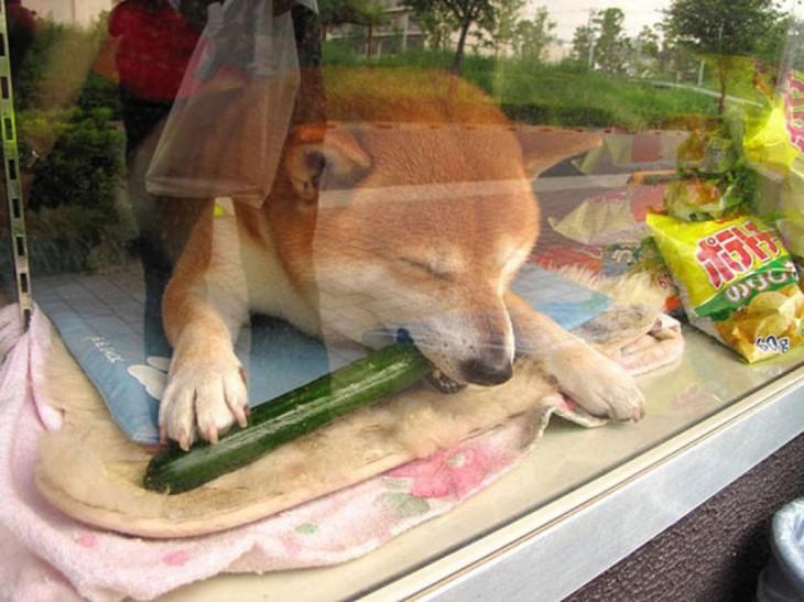perro shiba comiendo un pepino