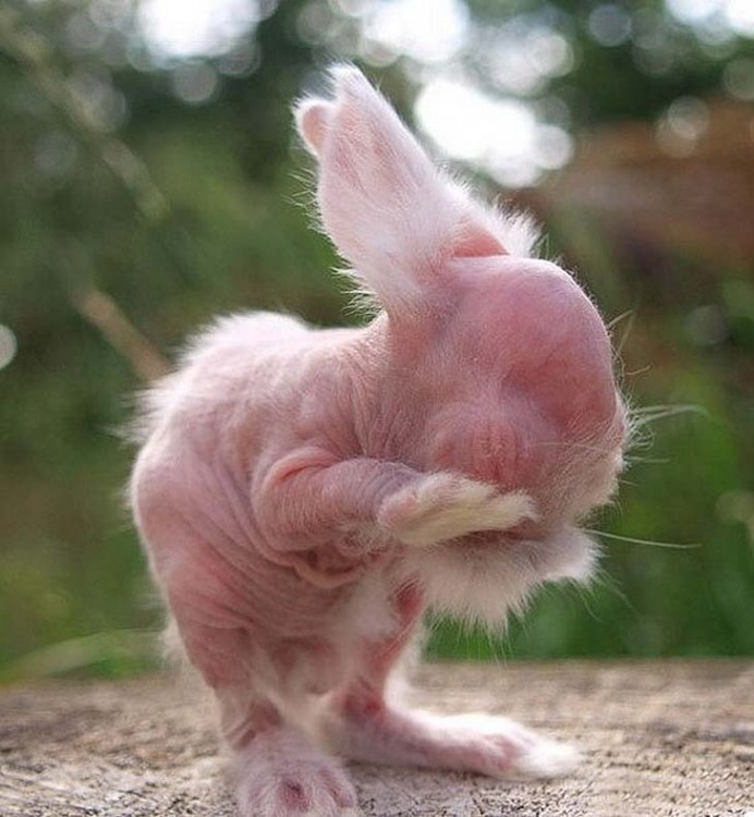 conejo sin pelo rascando un ojo