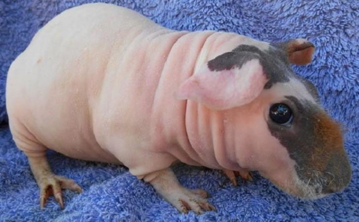 Conejillo de indias sin pelo con piel rosada