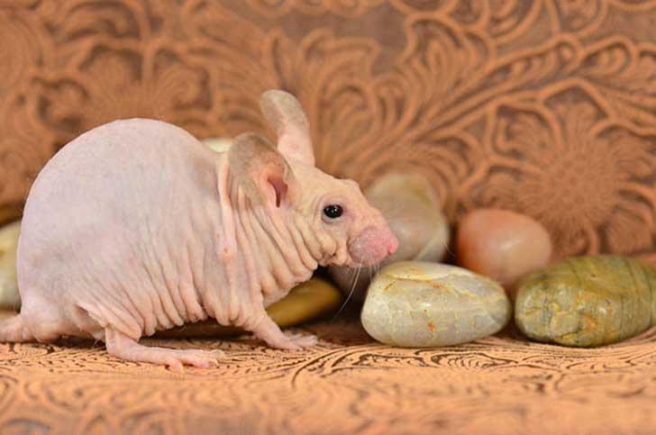 Rata sin pelo con piedras