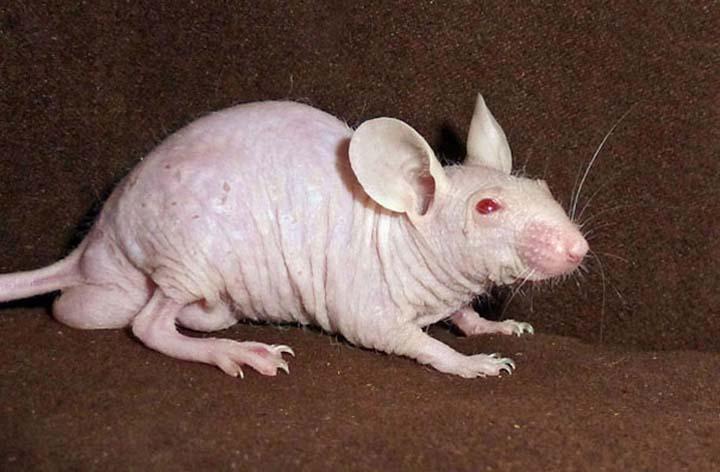 Rata sin pelo