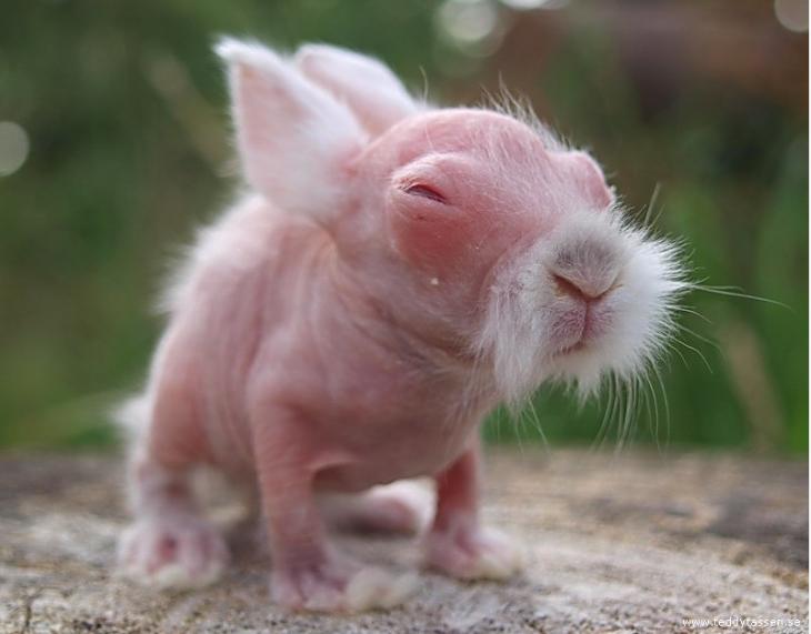 Pequeño conejo sin pelo