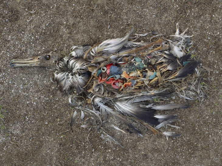 10. Albatros muerto por la excesiva ingesta de plástico en las islas Midway en el pacifico norte