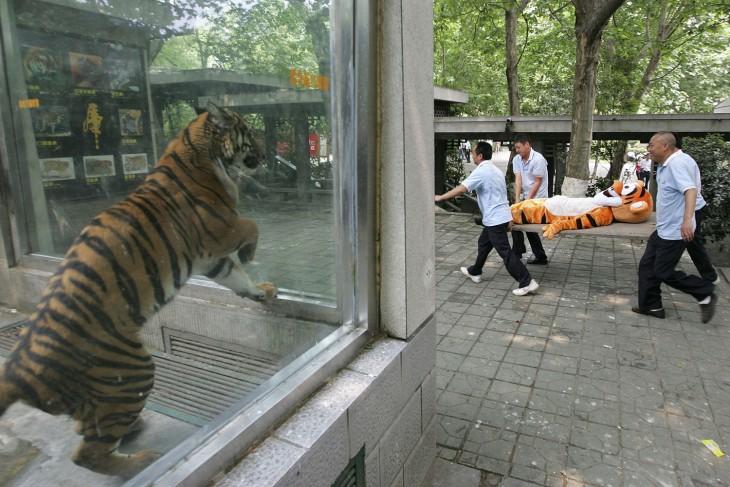 tigre encerrado viendo pasar tigre de peluche