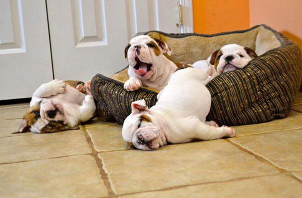 bulldogs con la cabeza de fuera en el suelo por pesada