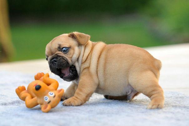 bulldog inlges jugando con su perrito de juguete