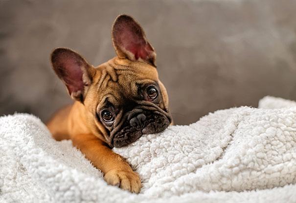 bulldog frances  cafe en una toalla