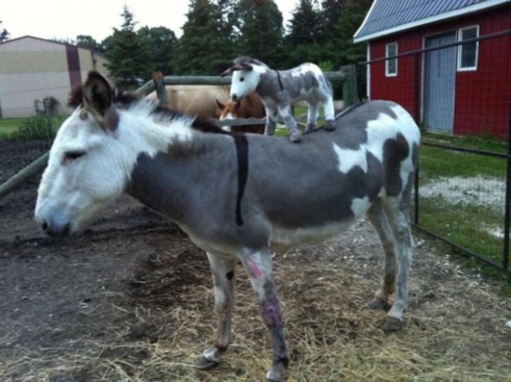 burro con otro burro arriba
