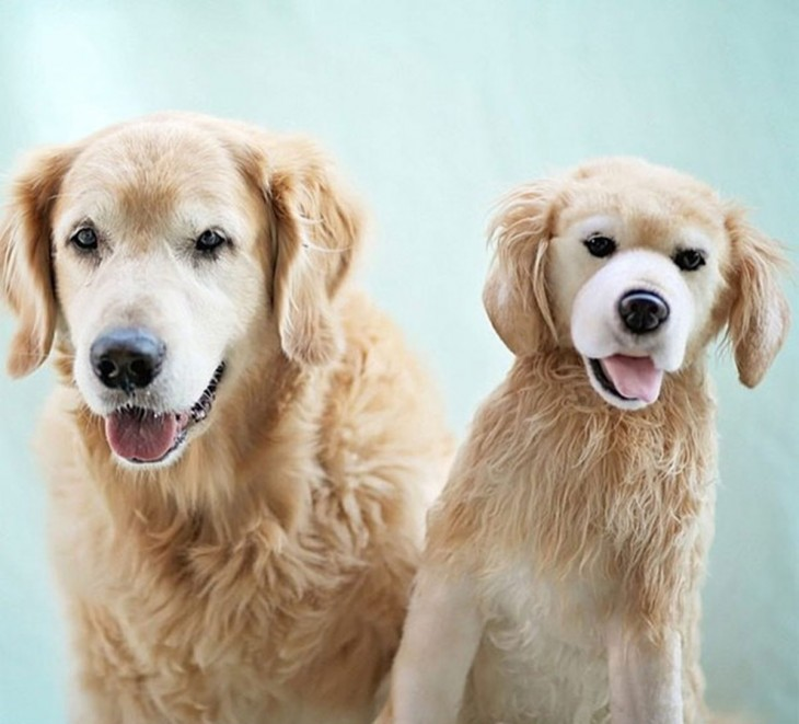 perro golden con peluche golden