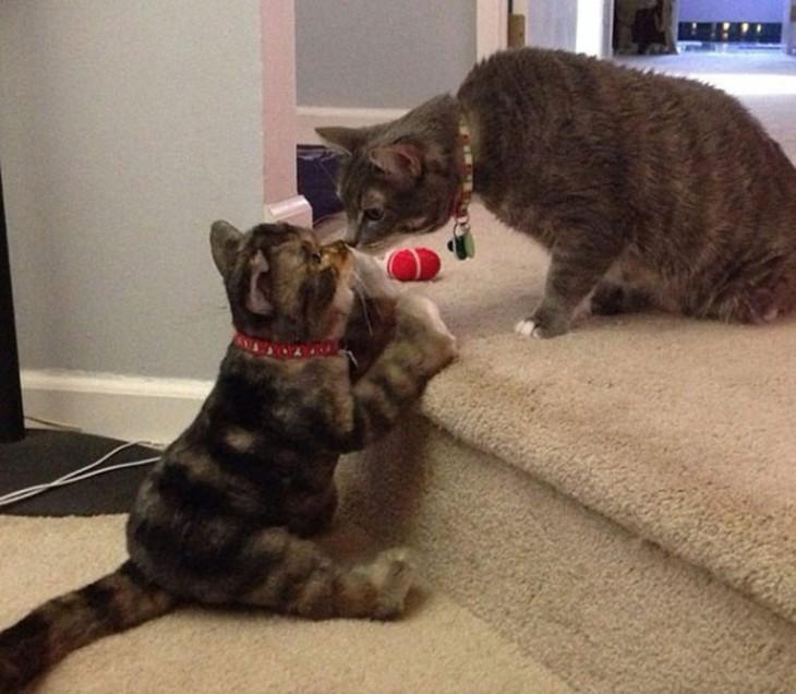 gato pardo con su peluche indetico
