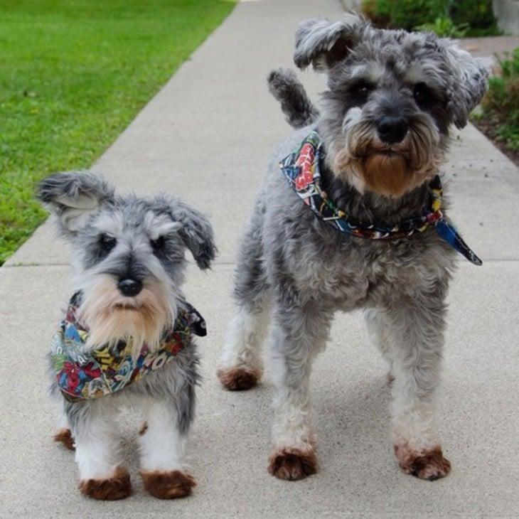 perro terrier con su peluche terrier