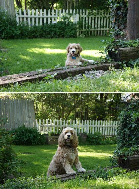 Cocker spaniel antes y depsues en el jardin
