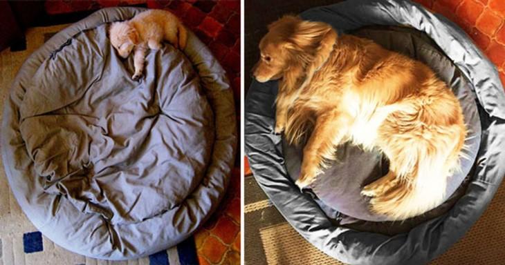 golde labrador durmiendo en la cama