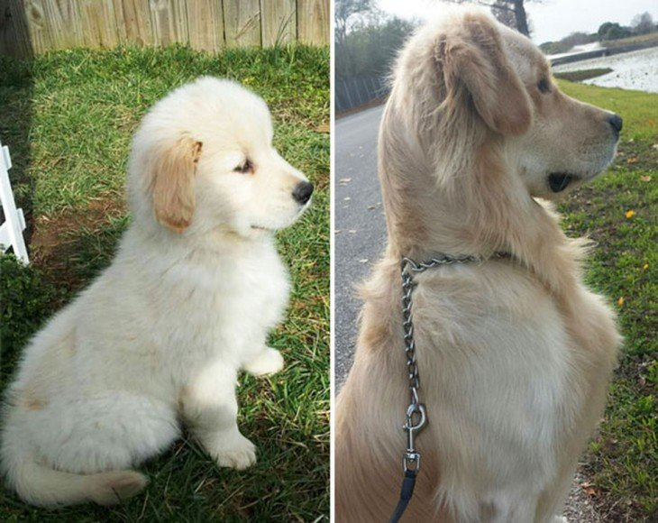 golden retriever antes y despues en el jaro