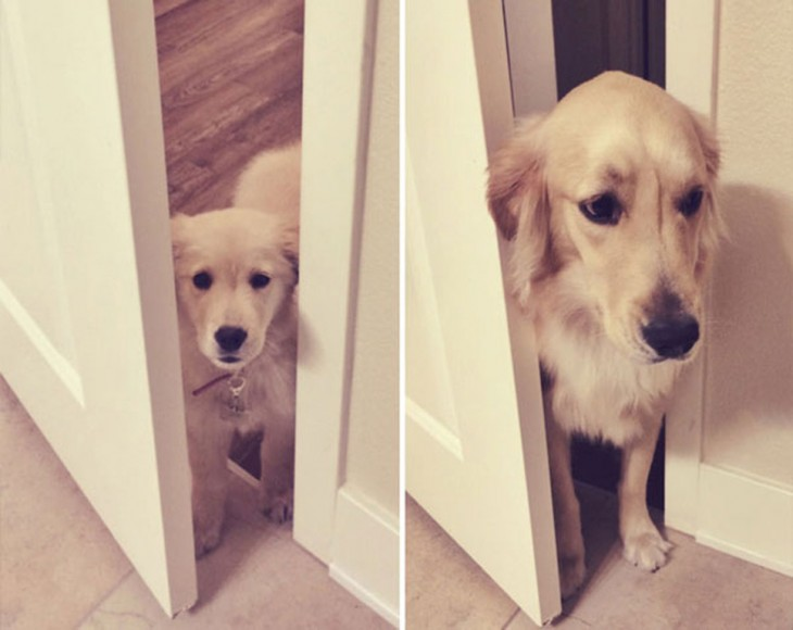 golden retriever abriendo la puerta