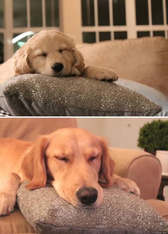 perro golden retriever durmiendo en el sofa